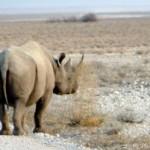 Namibia-Rhino2219-300x201.jpg
