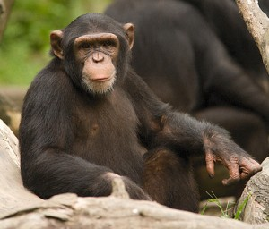 Lion Attack Mirrors Previous Waiver Case: ****Chimp Attacks